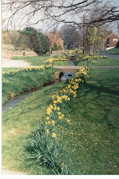 199504 Rillington daffodils