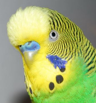 560px-Detail_shot_of_budgerigars_head