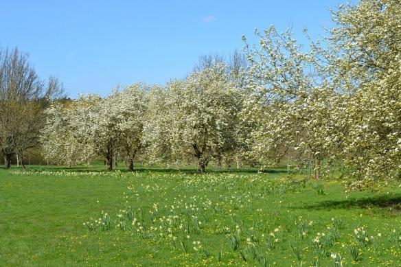 blossom and daffs